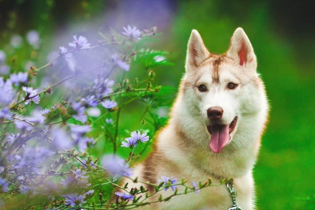 Fotografia de pet - Husky entre flores